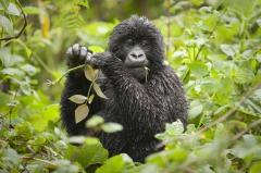 16-Virunga-Gorilla.jpg